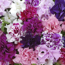 Rare Colorful Wavy Petunia Flowers, 100 Mixed Seeds, fragrant dazzling flowers light up garden E3701