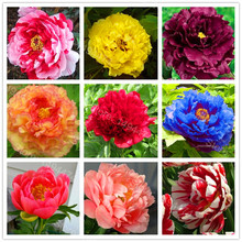 Hot Sale! 10pcs/bag mixed color peony seeds flower seeds High Quality Peony Flower Seeds bonsai plant for home garden(China)