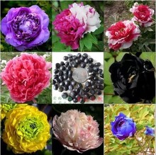 mixed color 10 seeds/pack Potted Flowers Peony Seeds Potted  Garden Decoration Bonsai Flower Seeds