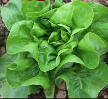 free ship 40 Italian Lettuce Seeds good taste , easy to grow, great salad choice ,DIY Home vegetable