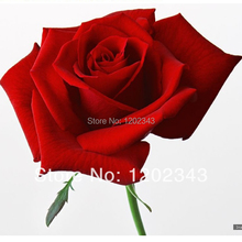 200 SEEDS - Fresh Red Rose Seeds - Bonsai Flower Plant Seeds * Free Shipping