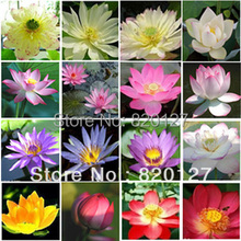 Multi color  lotus water lily flower seeds, mixed packing,aquatic seeds,20pcs/lot
