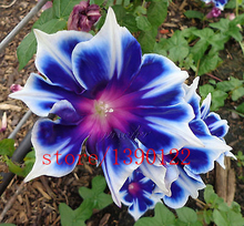 100pcs/bag Picotee Blue Morning Glory seeds,rare petunia seeds,bonsai flower seeds,plant for home garden Easy to Grow!