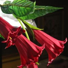 Beautiful 50 RED color Datura Seeds, Dwarf Brugmansia Angel Trumpets, bonsai flower , fragrant yellow blooms y65