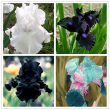 50 pcs/bag iris flower, iris seeds rare bonsai Phalaenopsis Orchid flower seeds 18 colors perennial Natural growth plant(China)