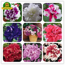 Flowers seeds Free shipping 300PCS Seeds Pan-american n Flowers Petunia Petals Double Waterfall pluguglies Home Garden Bonsai(China)