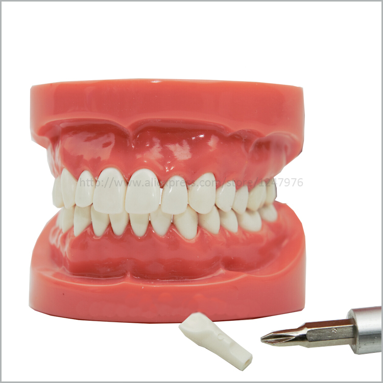 Dental removable dental model dental tooth arrangement practice model with screw teaching simulation model oral materials<br>
