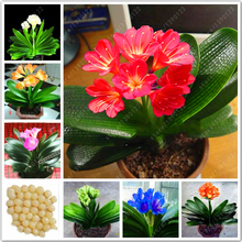 Real clivia bulbs, clivia plant, bonsai flower bulbs, (not clivia seeds), perennial flowers potted plant Bulbous Root - 20 pcs