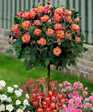 Marseed 50 pcs Rare Flower Bonsai Home Gardening Orange Rose Tree Bonsai Sementes 100% Natrual Home Indoor DIY Planting MAS087