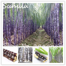 Promotion!60 particles Vietnam sugar cane seed succulent delicious fruit tree seeds herb plant for garden vegatable medicinal