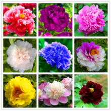 10pcs/bag peony seeds peony yellow bonsai flowers exotic seeds potted tree peony seeds home garden plant