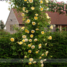 Heirloom 'Pilgrim'  Fragrant Yellow Climbing Rose Shrub Seeds, Professional Pack, 50 Seeds / Pack, Bloom Repeately All Season