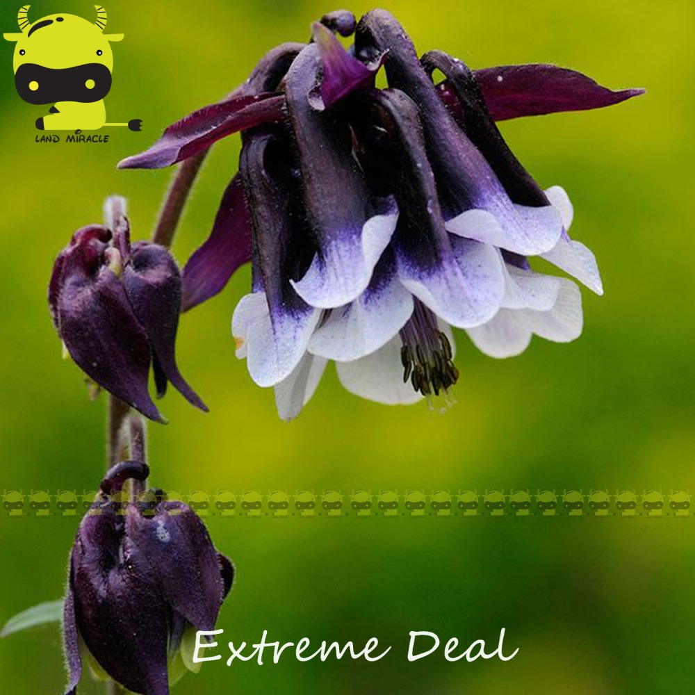 Buy double columbine and get free shipping on aliexpress izmirmasajfo Image collections