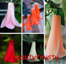 New Rare 50 Pcs / bag Chilean Bellflower (Lapageria rosea) Seeds ,evergreen, lasting , part shade ,DIY garden flower plant,