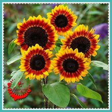 1 Lot 20 Sunflower Flower Seeds Mixed colorful Rain apricot pear-like cloud A142