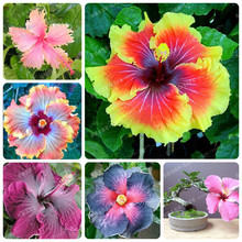 200pcs Hibiscus seeds 14kinds HIBISCUS ROSA-SINENSIS Flower seeds hibiscus tree seeds for flower potted plants