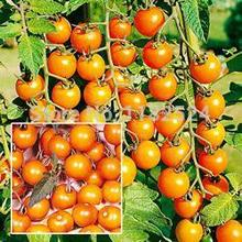 "200 SEEDS - "" Sungold F1 Hybrid (Indeterminate) "" Tomato Seeds fruit vegetables seeds (Organic)"