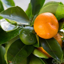 10pcs Edible Fruit Mandarin Bonsai Tree Seeds, Citrus Bonsai Mandarin Orange Seeds(China)