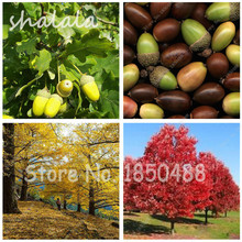 10 Pcs/bag  Red Oak Tree Quercus Alba Shade Acorn Seeds Bonsai Tree Seeds Garden Ornamental Plants Natural Growth