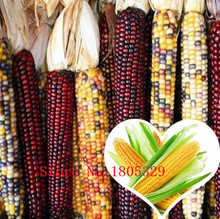 Big sale Silver Waxy maize, white corn seeds vegetable seeds  - 10 particles