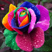 100 pcs Seeds Rare Holland Rainbow Rose Flower Home Garden Rare Flower Seeds Colorful Rose Seeds