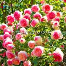 100 pcs polyantha rose seeds garden climbing plants Diy rose red and pink flower plant seeds Park green decoration Sementes(China)