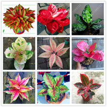 50 pcs/bag Aglaonema 'Pink Dud', beautiful Mosaic plants perennial evergreen trees flower seeds, Houseplant home garden potted