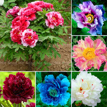 10pcs Rare Peony Tree Seeds Flower seeds Planting of Greenery And Flowers Terrace Courtyard Garden Paeonia Suffruticosa Seeds