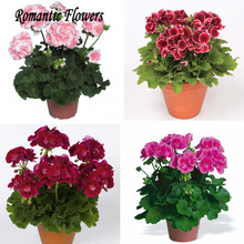 Special Offer! 10pcs / Bag Seeds Potted Geranium Planting Season Seeds Germination Rate 100%