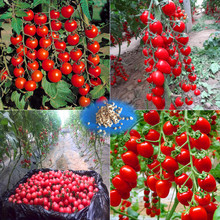 200 Greek Tomato Seeds Heirloom Sweet Gardening Seeds Plants Non Gmo Vegetable Seeds For Home Garden Planting Sent Gift