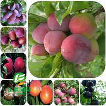 Direct plum tree plum plum tree seed tender and mouthwatering varieties complete specifications 5 seeds / pack