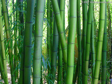 50pcs/bag Moso Bamboo seeds. Phyllostachys heterocycla Pubescens-Giant Moso Bamboo Seeds for DIY Home Garden Plant(China)