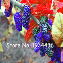 100 Pcs Fresh Fruit Seeds Perennial Colorful New Sweet Apache Thornless Blackberry Seeds Tasty Fruit DIY Home Garden Planting