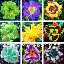 Day Lily Daylily Seeds Unique 50 Daylilies - Hemerocallis Fulva Day-lily Seeds Mixed Color Flower Seeds Bonsai Perennial Plant