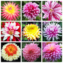 21 Kinds Multi-Colored Dahlia Seeds to Choose Bonsai Dahlia Flower Seeds Perennial Plant Seeds - 100 PCS