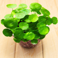 Potted 100 seeds Hydroponics Flower Aquarium Plants Penny Grass Seeds Best Indoor Bonsai Plant Hydrocotyle Vulgaris Seeds(China)