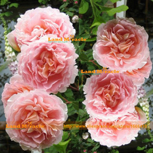 Double Big Flower Pink Peony Seed, 10 Seeds/Pack, Rare Peony Tree Bonsai Plant Home Garden-Land Miracle