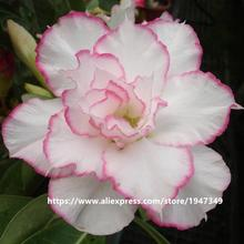 5 seeds / pack multi-layers White Color Pink Rim Desert Rose flower seeds Adenium Obesum Seed
