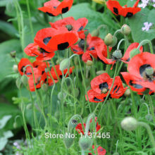 Real seed,50pcs/bag Corn Poppy,Flower Corn Rose,Flanders Poppy,Papaver rhoeas seeds bonsai plant home garden free shipping