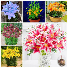 Multiple Colour True Lily Bulbs Rare Flower Garden Plant Can Purify The Air Bonsai Pot Plant For Home Garden(Not Seeds)15 Bulb