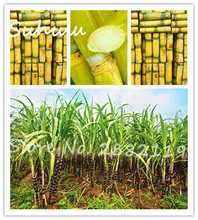 Succulent sugar cane seeds 100 particles delicious Vegetable and fruits seeds Are rich in sugar sugarcane seed health and family