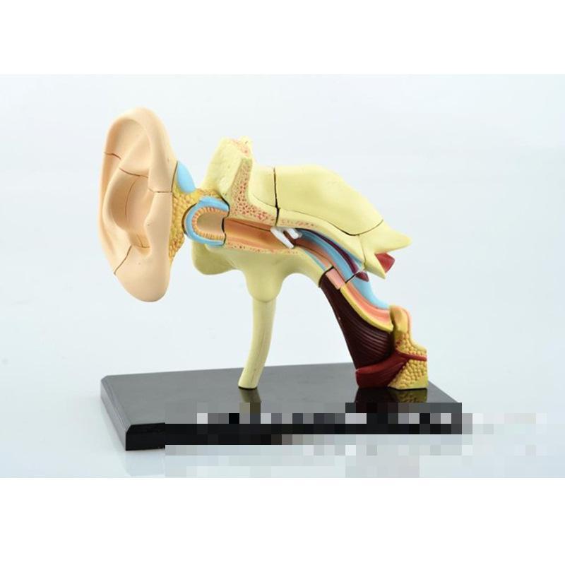 Ear model school biology teaching equipment Medicine anatomy model assembling toys<br>