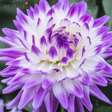 Dahlia Seeds, Dahlia Flower Seeds,Bonsai Flower Plant Seed 100 Particles / lot