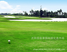 Us Lawn Seed Thin Type Bentgrass Seed Growing Low Pitch Villa Trample Type Seeds 0.2kg/lot(China)