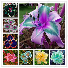 50 Pcs Daylily Seeds Keep the Faith Reblooming Seeds Rare Holland Rainbow Daylily Flower Exotic Plant Can Eat Tasty Vegetables
