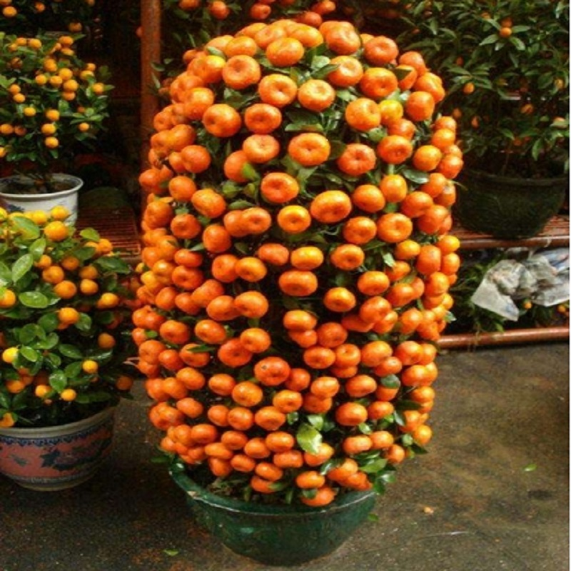 10 Seeds Balcony Patio Potted Fruit Trees Planted Quat Orange Tangerine Citrus Free Ship