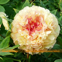 Heirloom 'HuangHuaKui' Peony Flower Seed, 5 Seeds/Pack, Rare Double Yellow Paeonia Suffruticosa-Land Miracle