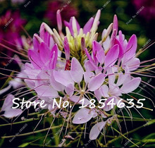 Free Shipping 30Pcs spider flower seeds,blooms from early summer till fall,DIY Potted Plant,semenatsvety room flowers Hot Sale