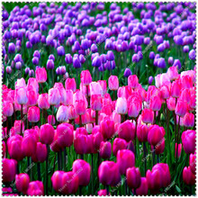 100 Pcs / Pack Tulip Seeds,tulipa Gesneriana,potted Plants, Planting Seasons, Flowering Plants for home garden