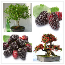 200PCS mulb erry bags Mulberry fruit seeds DIY home bonsai Morus Nigra Tree, black mulberry seeds(China)